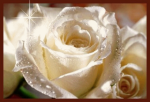 trandafir alb cu roua
